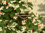 Giant Swallowtail on a bleeding heart vine