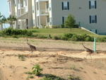 Sandhill cranes walking up from the local lake