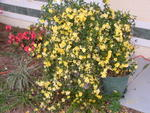 Another Carolina Jasmine