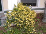 Carolina Jasmine - unbelievable!  And so fragrant